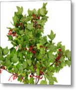 Sour Red Berries Bush Isolated Metal Print