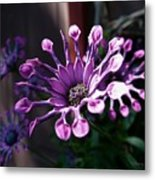South African Daisy Metal Print