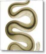 Southern Pacific Rattlesnake, X-ray Metal Print
