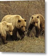 Sow Grizzly With Cubs Metal Print