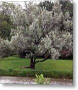 Spanish Olive Tree Metal Print