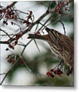 Sparrow Eating Berry Metal Print