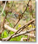 Sparrow In The Thorns Metal Print