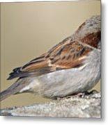 Sparrow Metal Print by Melanie Viola