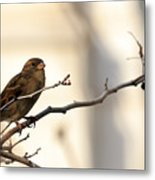 Sparrow On A Limb Metal Print