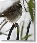 Sparrow On Fence Metal Print