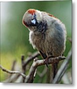 Sparrow Puzzled At What It Sees Metal Print