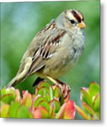 Sparrow Song 9 Metal Print