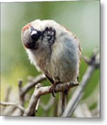 Sparrow Tilts It Head Metal Print