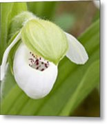 Sparrow's-egg Orchid  Metal Print