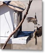 Sparrows In Fight Metal Print by Marjorie Imbeau