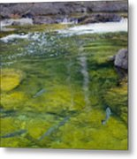 Spawning Salmon Metal Print