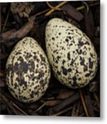 Speckled Killdeer Eggs By Jean Noren Metal Print