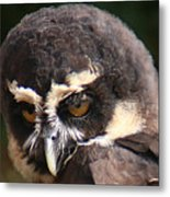 Spectacled Owl Portrait 2 Metal Print