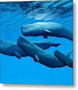 Sperm Whale Family Metal Print