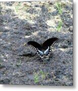 Spicebush Swallowtail 2 Metal Print
