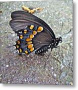 Spicebush Swallowtail Butterfly Female - Papilio Troilus Troilus Metal Print