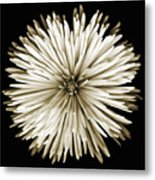 Spider Mum In Sepia Metal Print