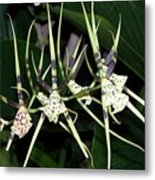 Spider Orchid Metal Print