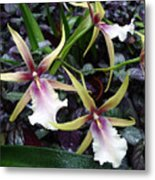 Spider Orchids Metal Print