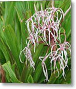 Spider,lily Metal Print