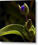 Spiderwort Bud Metal Print