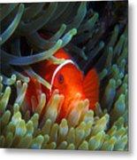 Spinecheek Anemonefish, Great Barrier Reef Metal Print