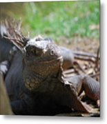 Spines Along The Back Of An Iguana In The Tropics Metal Print