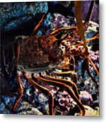 Spiney California Lobster Metal Print