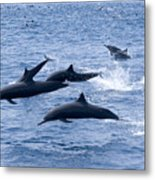 Spinner Dolphins Metal Print
