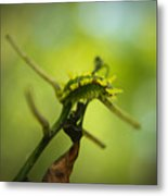 Spiny Oak Slug Moth 2 Metal Print