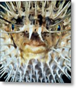 Spiny Puffer Metal Print