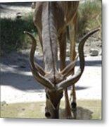 Spiral Horned Antelope Drinking Metal Print