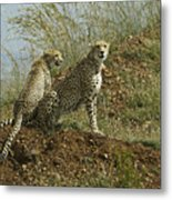 Spotted Cats Metal Print