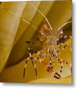 Spotted Cleaner Shrimp On Anemone Metal Print