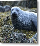 Spotted Coat Of A Harbor Seal Metal Print