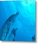 Spotted Dolphins Metal Print