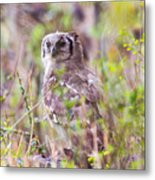 Spotted Eagle Owl  Metal Print
