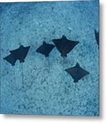 Spotted Eagle Rays Metal Print by Dave Fleetham - Printscapes