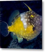 Spotted Filefish Metal Print