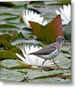 Spotted Sandpiper And Lilies Metal Print