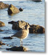 Spotted Sandpiper Keeping Sentry On The Bay Metal Print