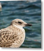 Spotted Seagull Metal Print