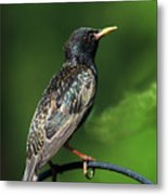 Spotted Starling Metal Print