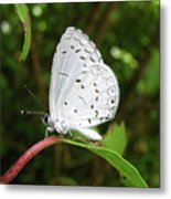 Spring Azure Butterfly Metal Print