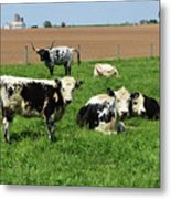 Spring Day With Cows On An Amish Cattle Farm Metal Print