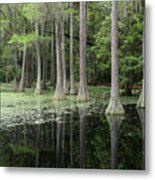 Spring Green In Cypress Swamp Metal Print