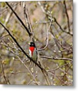 Spring Grosbeak Metal Print