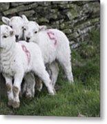 Spring Lambs 2 Metal Print