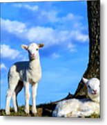Spring Lambs Evening Light Metal Print